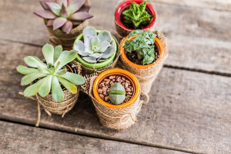 Gasteria armstrongii, czyli ciekawy sukulent w niewielkich doniczkach, a także sadzenie, pielęgnacja oraz uprawa roślinki