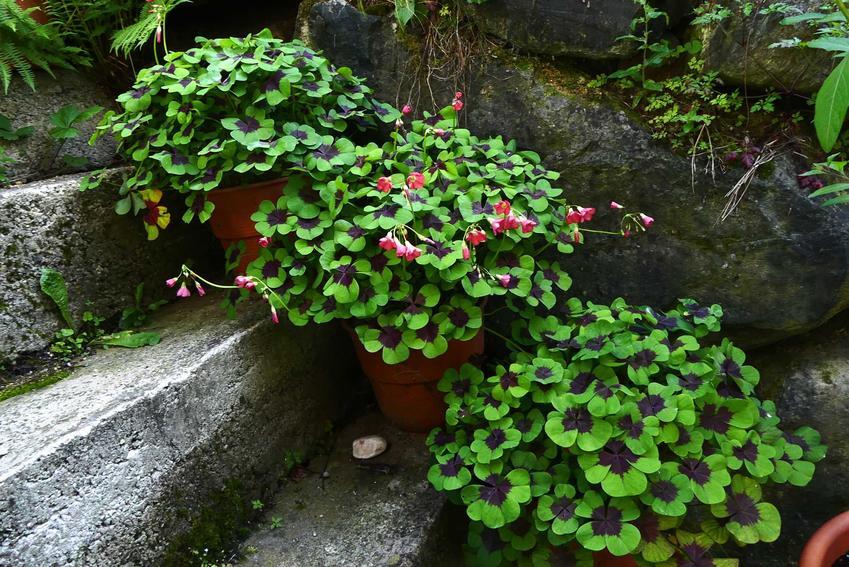 Szczawik czterolistny wspaniale wygląda w doniczkach. Możliwa jest także uprawa w ogrodzie, a rośliny mają niskie wymagania.