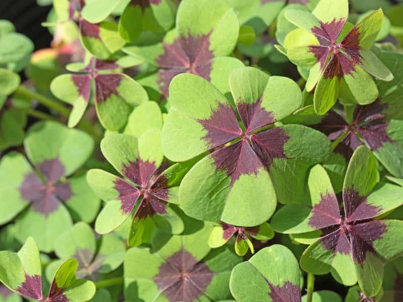 Szczawik czterolistny o zielono-brązowych listkach, a także uprawa w doniczce, pielęgnacja, zastosowanie, podlewanie i podstawowe wymagania