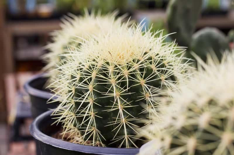 Echinocactus grusonii, czyli echinokaktus Grusonaw doniczce - warunki uprawy, wymagania, sadzenie, nawożeniw oraz pielęgnacja kaktusa