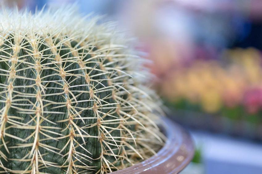 Echinocactus w doniczce to przepiękna roślina. To płaski kaktus, który rozrasta się na szerokość. Jego uprawa nie jest trudna.