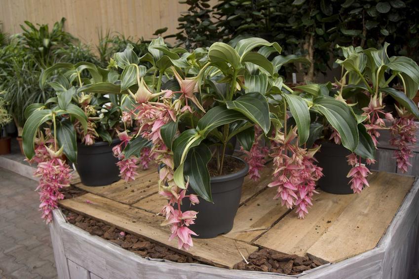 Kwiaty medinilli wspaniałej w doniczce to najpiękniejsza ozdoba parapetów. Jego pielęgnacja może być nieco wymagająca.