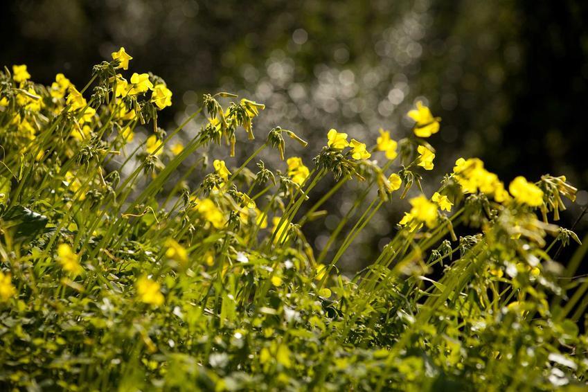 Szczawik różkowaty w ogrodzie pojawia się bardzo często na rabatach warzyw. Jednak może także mocno się rozprzestrzenić, zmienić się w gęste kępy pokryte kwiatami.