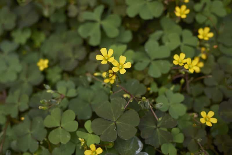 Szczawik rożkowaty w doniczce o zielonych listkach i żółtych kwiatach, a także uprawa, występowanie i zwalczanie chwastów