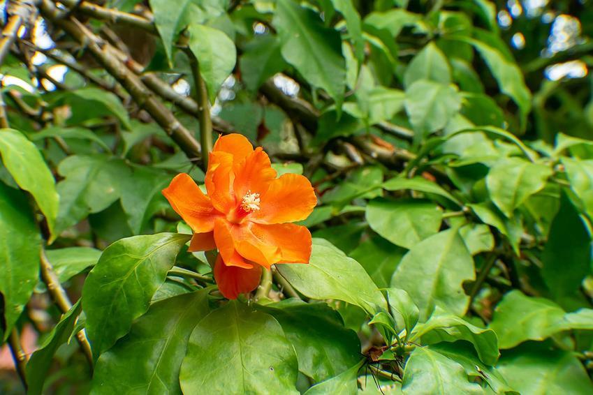 Pomarańczowa grandifolia ma delikatne, pomarańczowe kwiaty, przypominające pergamin. Uprawa nie zawsze się udaje, ponieważ pielęgnacja jest wymagająca