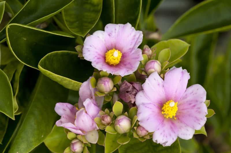 Ciekawy sukulent - Pereskia grandifolia - pochodzenie, warunki uprawy, wymagania, sadzenie, podlewanie, pielęgnacja - porady