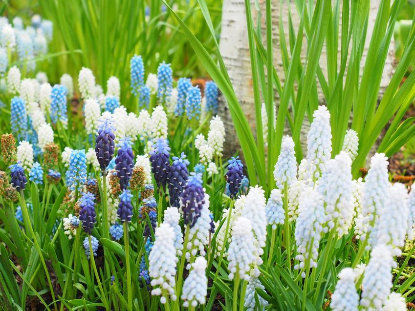 Szafirek groniasty to najpiekniejsza roślina cebulowa, której kwitnienie przypada na wiosnę. Pielęgnacja nie jest trudna, więc warto posadzić roślinę w ogrodzie.