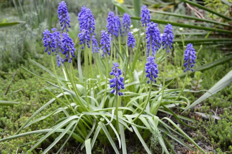Szafirki groniaste w ogrodzie o różnych odmianach, a także pielęgnacja, sadzenie, uprawa oraz wymagania szafirków krok po kroku