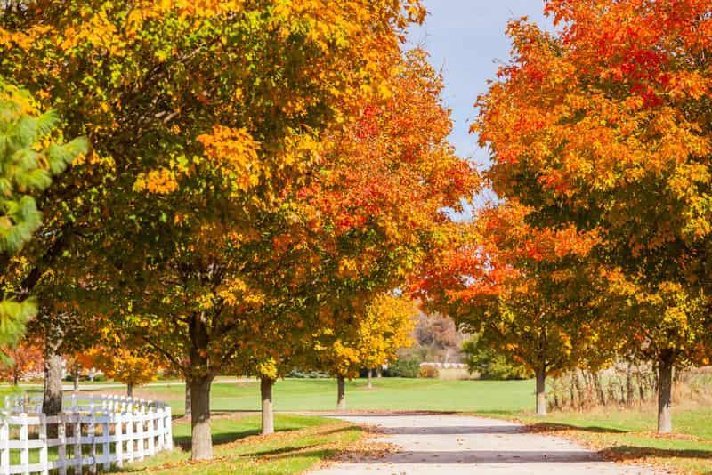 Klon cukrowy jesienią, w czasie przebarwiania się liści, a także pielęgnacja Acer saccharum krok po kroku, stanowisko i cena sadzonki