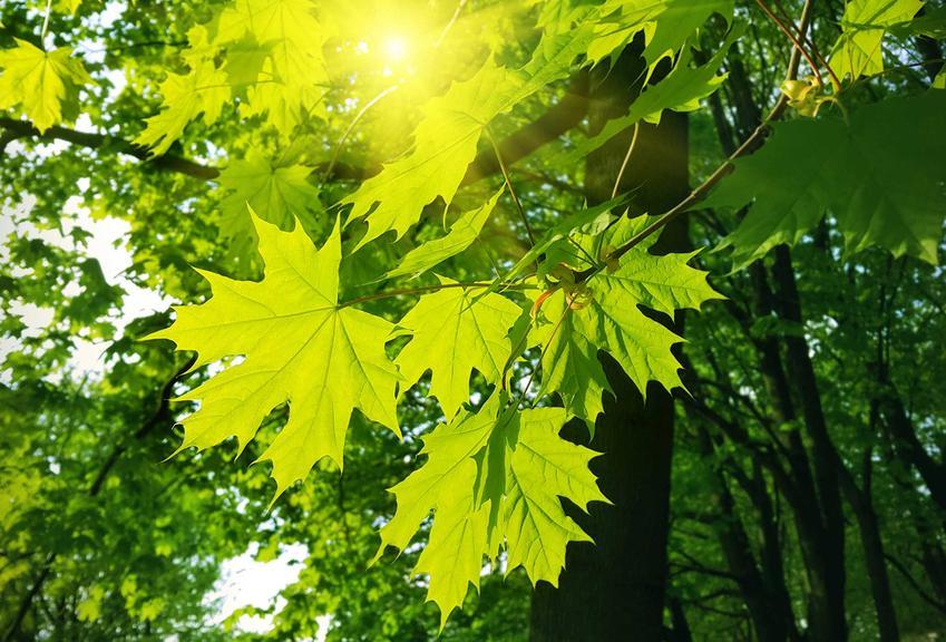Klon kanadyjski świetnie wygląda w ogrodzie. Niestety drzewo zajmuje dużo miejsca, jest potężne, jego drewno jest wykorzystywane w meblarstwie.