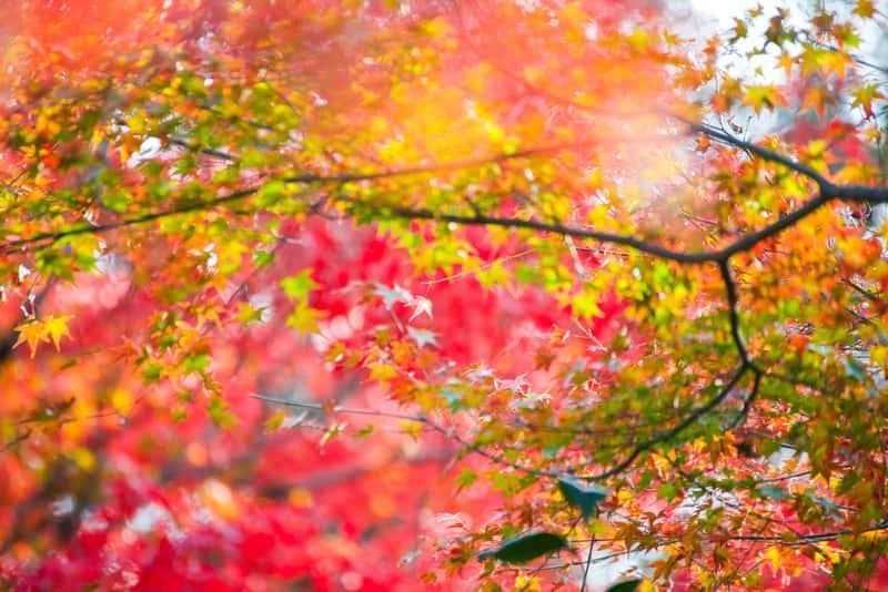 Czerwone liście klonu ozdobnego rosnącego w ogrodzie, a także odmiany, pielęgnacja, sadzenie oraz uprawa w przydomowym ogrodzie