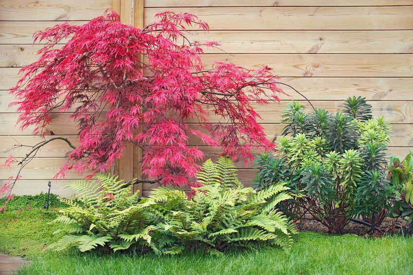 Klon ozdobny to jedna z najpiękniejszych roślin do ogrodu. Uprawa nie jest trudna, dlatego pielęgnacja nie wymaga wiele czasu.