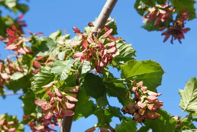 Klon Ginnala o nietypowych karbowanych liściach, a także sadzenie, pielęgnacja, uprawa oraz sadzonki rośliny do ogrodu