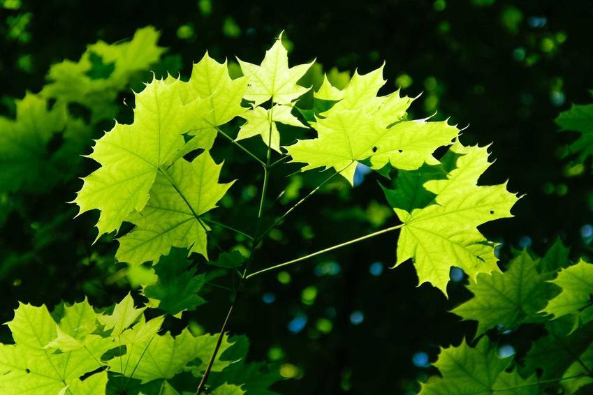 Klon Ginnala, czyli klon ognisty wyróżnia się w ogrodzie ładnymi liśćmi. Jego uprawa nie jest skomplikowana, ale cena sadzonek może być wyższa.