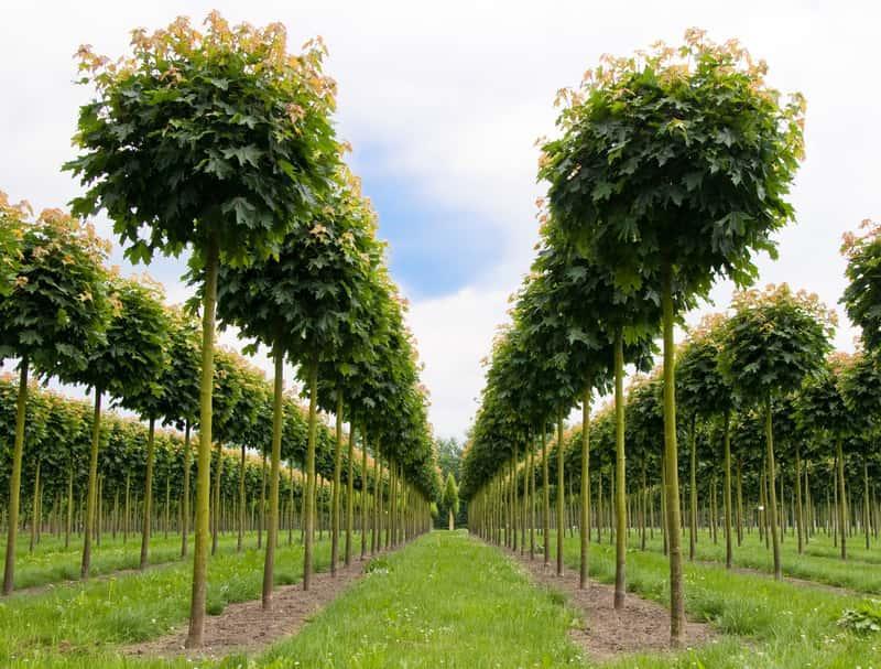 Klon kulisty - sadzenie, uprawa, pielęgnacja, szczepienie na pniu, porady