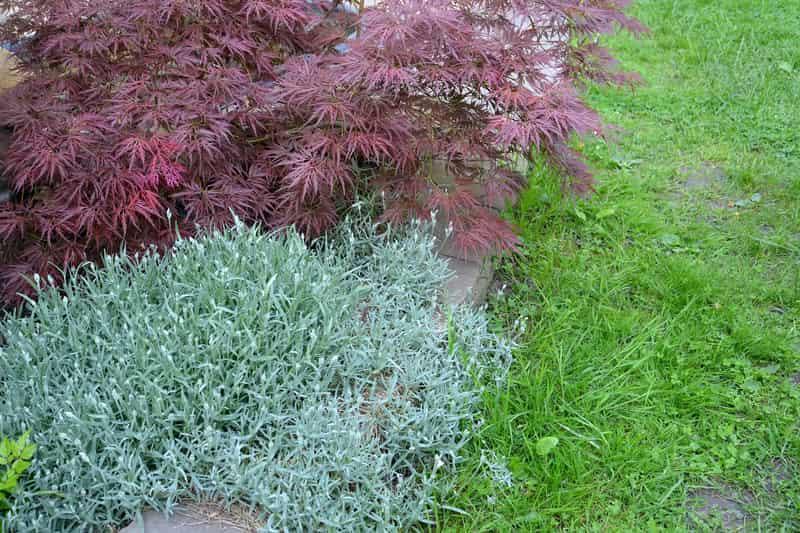 Klon Crimson, czyli ciekawy klon do ogrodu, a także sadzenie, pielęgnacja, zastosowanie i podlewanie wyjątkowej rośliny