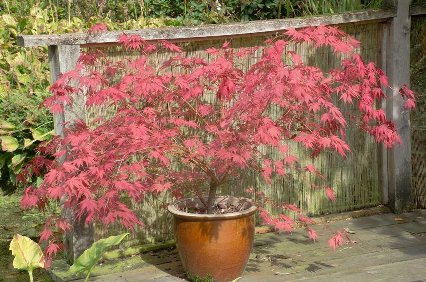 Klon Crimson Sentry jest bardzo ciekawym gatunkiem. Nadaje się do ogrodu i ładnie wygląda nawet wtedy, gdy nie jest poddawany cięciu.