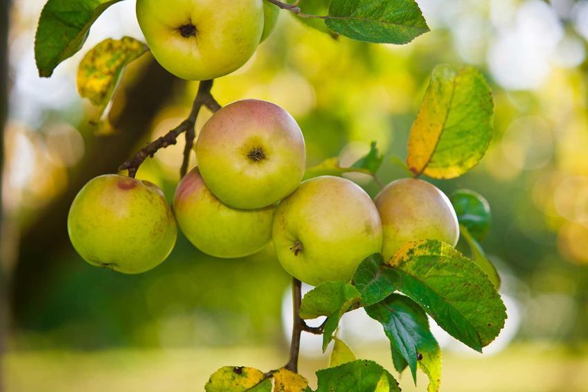 Jabłka Kosztele są bardzo smaczne i bardzo słodkie. Uprawa tej odmiany jabłoni nie jest trudna, wręcz przeciwnie - dobrze sprawdzają się w naszych warunkach.