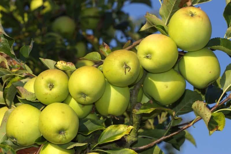 Zielone jabłuszka odmiany Golden Delicious, a także informacje o jabłoni Golden Delicious, jej uprawa, sadzenie oraz wymagania