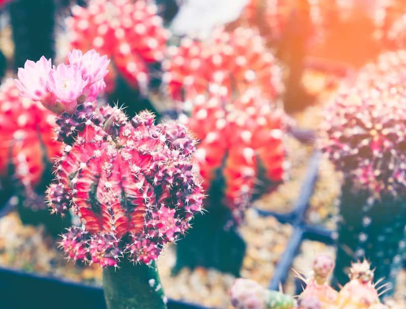 Gymnocalycium mihanovichi o różowych kwiatach, a także informacje o odmianach, sadzeniu, pielęgnacji, uprawie i wymaganiach gymnocalycium