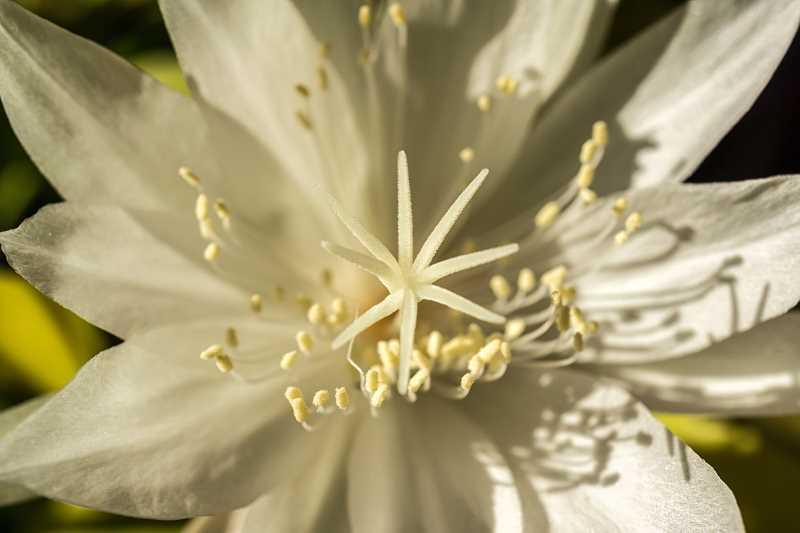 Ciekawy kwiaty Epiphyllum ostropłatkowego o białym kolorze, a także sadzenie, pielęgnacja oraz uprawa rośliny krok po kroku