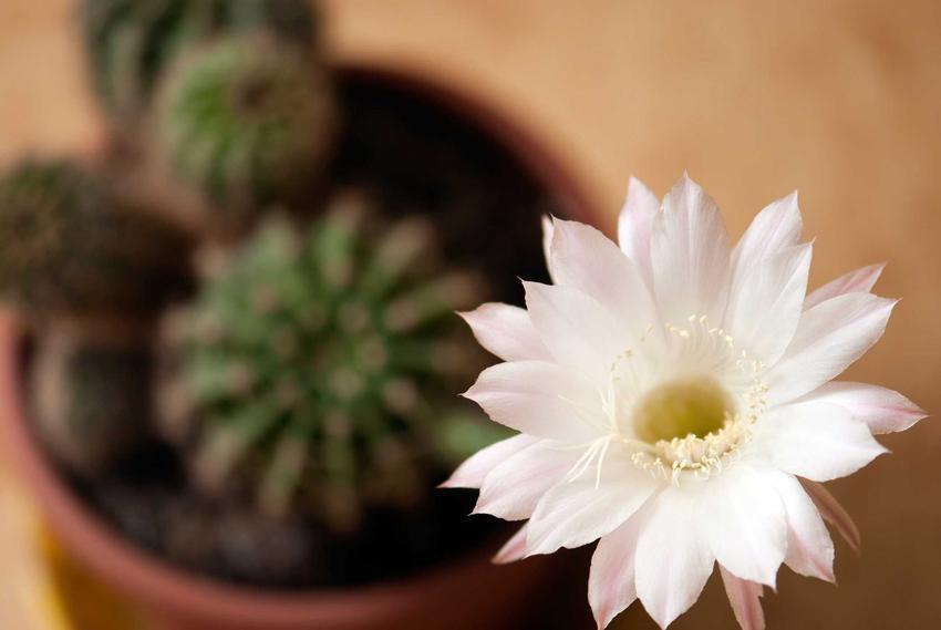 Epiphyllum ostropłatkowe to jeden z najładniejszych sukulentów. Jego uprawa nie jest trudna, należy tylko pamiętać o podlewaniu.