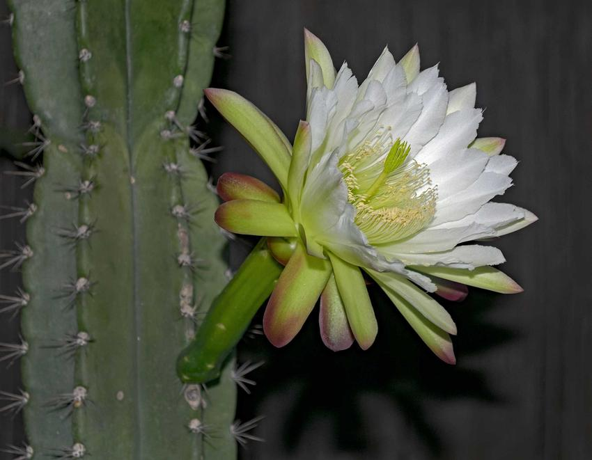 Kwitnący cereus respandus to jeden z najpiękniejszych kaktusów. Uprawa cereusa nie jest trudna, ale ma on specyficzne wymagania.