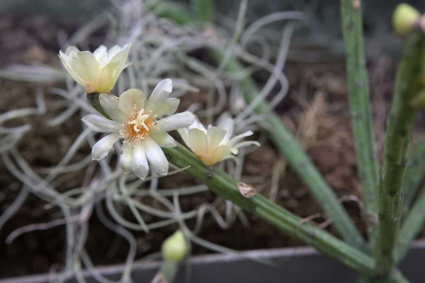 Patyczak w doniczce to świetne rozwiązanie. Kaktus przepięknie wygląda, a jego uprawa i pielęgnacja nie zajmują dużo czasu. Podlewanie nie powinno być zbyt obfite
