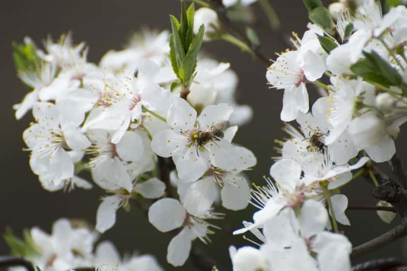 Ozdobna śliwa ałycza w czasie kwitnienia obsypana białymi kwiatami, a także pielęgnacja, sadzenie oraz wymagania rośliny