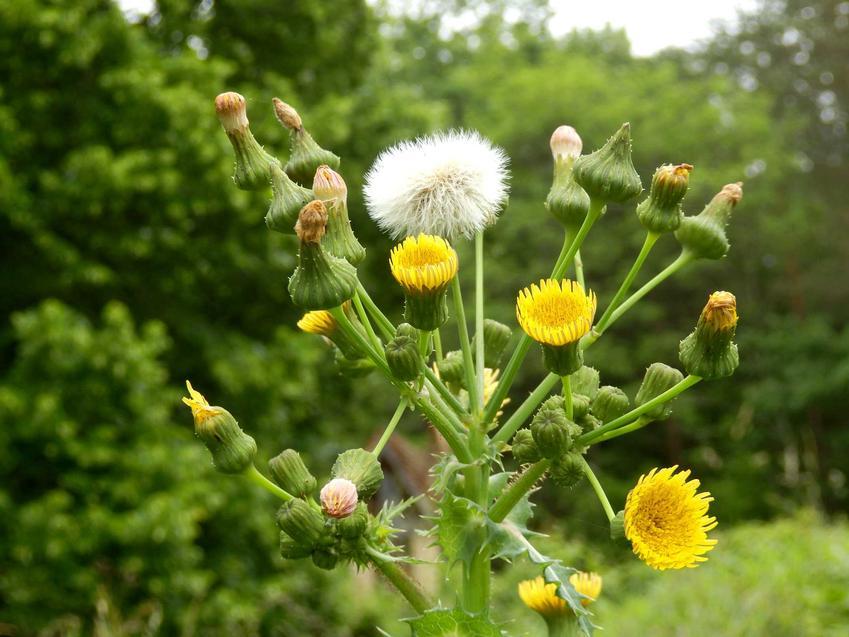 Mniszek lekarski i mlecz polny to podobne rośliny, które są bardzo trudnymi do zwalczenia chwastami. Dobrze się sprawdzają w przydomowym ogrodzie.