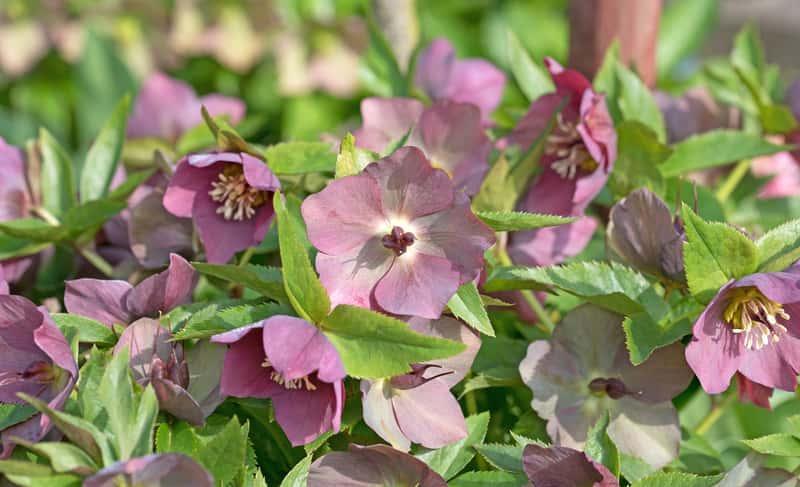 Kwiaty ciemiernika wschodniego helleborus orientalis w ogrodzie - opis, warunki sadzenie, wymagania, uprawa, pielegnacja, zastosowanie