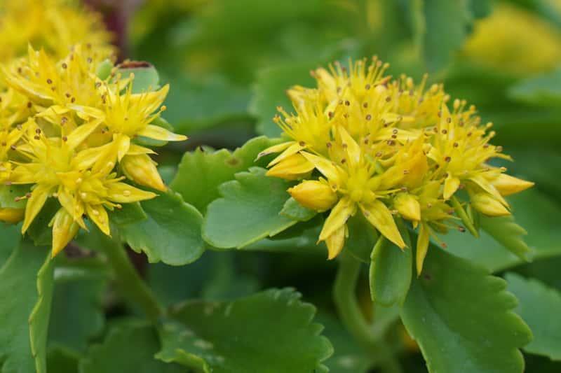 Rozchodnik kamczacki o żółtych kwiatach w czasie kwitnienia, a także sadzenie, pielęgnacja, uprawa, podlewanie i zastosowanie