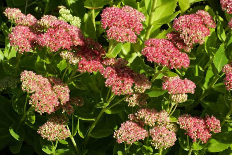 Różowe kwiaty rozchodnika martona, a także pielęgnacja rośliny rozchodnim matrona, uprawa, sadzenie oraz podlewanie krok po kroku