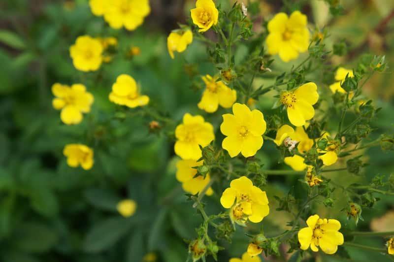 Kwitnący pięciornik rozłogowy, z łac. potentilla reptans - uciążliwy chwast - wystepowanie, sprawdzone sposoby zwalczania, właściwości lecznicze