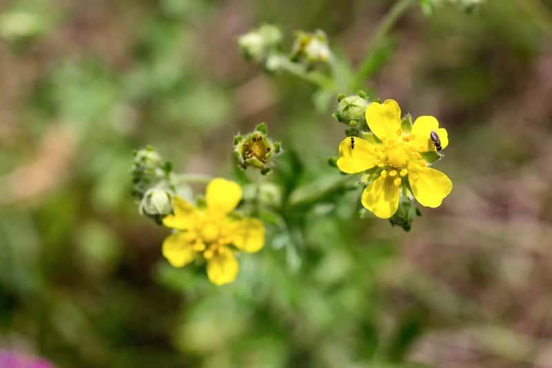 Niewielkie, żólte kwiaty pięciornika srebrnego potentilla argentea - opis, zwalczanie, właściwości lecznicze, zastosowanie i działanie - porady