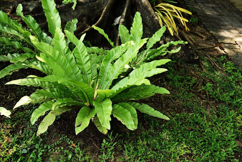 Zanokcica w domu bardzo ładnie się prezentuje. Chociaż pielęgnacja jest wymagaja, rośliny się pięknie prezentuje, więc warto ją kupić.