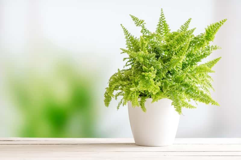 Nefrolepis w doniczce - warunki uprawy, sadzenie, stanowisko, rozmnażanie oraz pielegnacja paproci w domu - porady