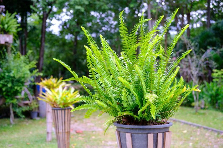 Nefrolepis w doniczce dobrze się prezentuje. Jej uprawa nie jest tudna, a roślinę można wystawić w ogrodzie lub na balkon albo uprawiać na parapecie