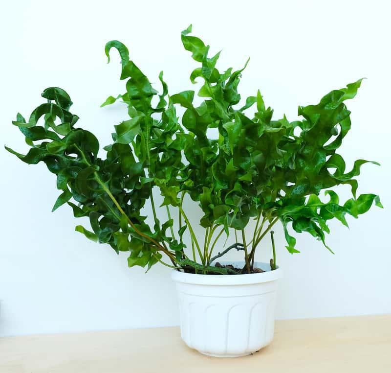 Flebodium o pofałdowanych liściach, a także domowa paprotka, uprawa, pielęgnacja, zastosowanie, wymagania na parapecie