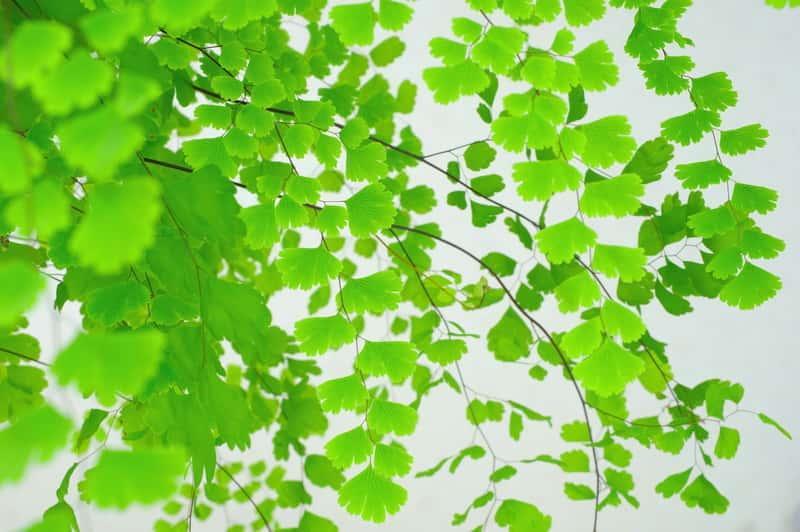 Paproć niekropień o delikatnych drobnych listkach, a także sadzenie, pielęgnacja, uprawa rośliny w doniczce