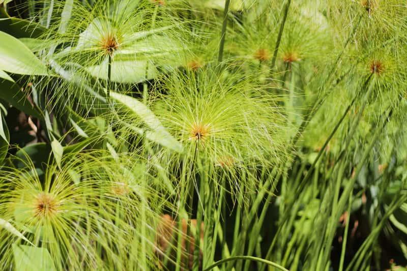 Cibora papirusowa - wyjątkowy kwiat doniczkowy - warunki uprawy, wymagania, pielęgnacja, rozmnażanie, sadzenie - porady