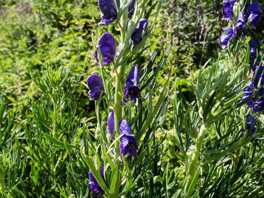 Uprawa tojadu mocnego nie jest wymagająca. Roślina ładnie się prezentuje w ogrodzie, a jej wymagania nie są wysokie