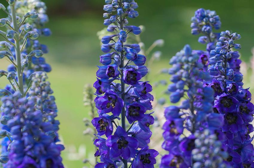 Tojad w ogrodzie nie jest zbyt popularny, ale ładnie wygląda. Jego odmiany są bardzo ciekawe i mają ładne kolory oraz mają włsciwości lecznicze