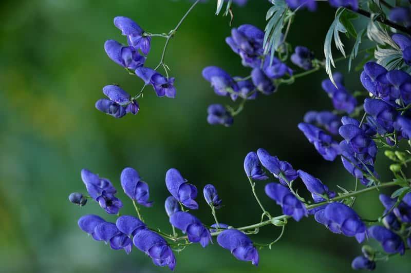 Niebieskie, rycerskie  kwiaty tojadu - uprawa, wymagania, stanowisko, pielęgnacja w ogrodzie, bezpieczeństwo oraz właściwości lecznicze i zastosowanie