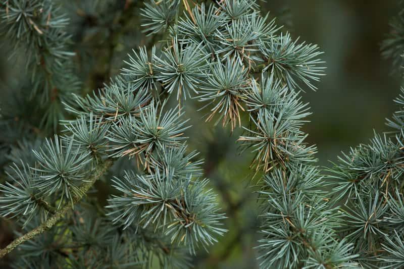 Gałązki cedru - klejnot ogrodu - odmiany, wynagania, stanowisko, warunki uprawy, sadzenie, pielegnacja, - porady