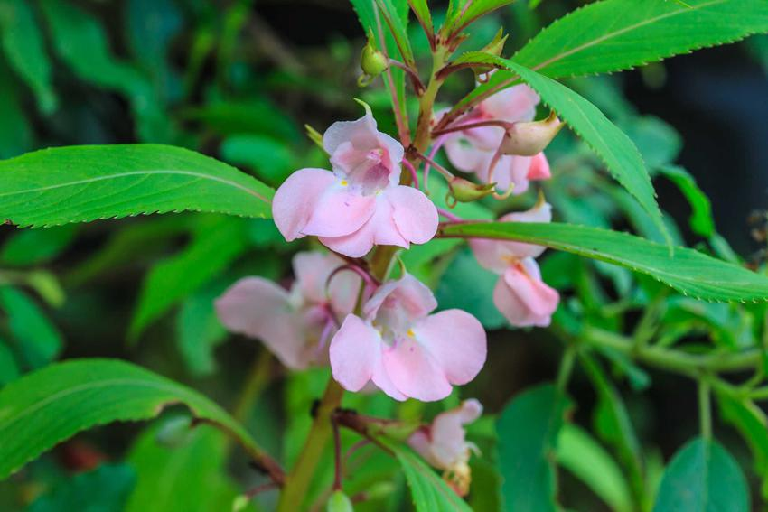 Kwiaty niecierpka pięknie się prezentują. Roślina ładnie wygląda, a jej uprawa nie jest wymagająca, więc można zasadzić je w ogrodzie.