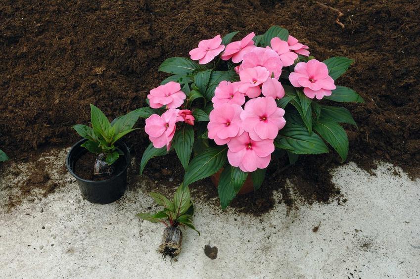 Niektóre odmiany niecierpka uprawia się w doniczce. Roślinę pielęgnuje się z nasion lub wysadza sadzonki. Nie ma dużych wymagań w ogrodzie