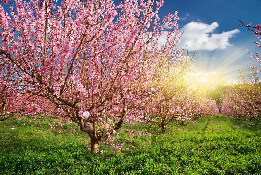 Wiśnia Łutówka to roślina, która ładnie wygląda i dobrze sprawdza się w ogordzie. Jej smaczne, kwaskowate owoce są najbardziej popularne na przetwory.