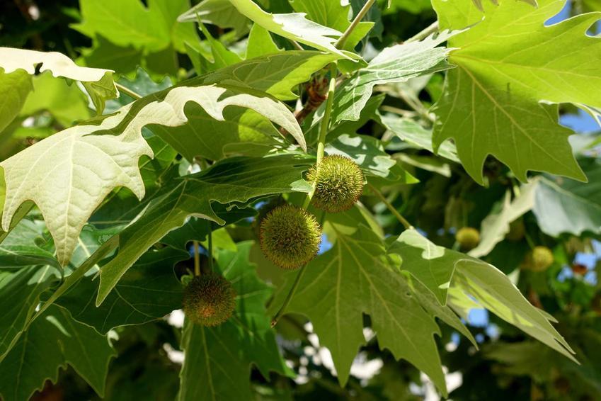 Platan klonolistny, jeden z przedstawicieli platanowców, to piękne, duże drzewo. Cena sadzonek bywa dość wysoka, a roślina bywa podatna na choroby