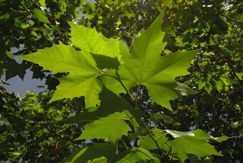 Platan kalinolistny o zielonych liściach klapowanych, a także platan w ogrodzie, sadzenie, pielęgnacja, stanowisko oraz cena sadzonki